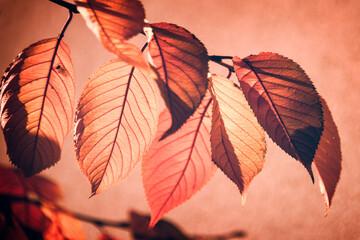 Obraz Backlit red fall leaves on a tree branch, pink background - fototapety do salonu