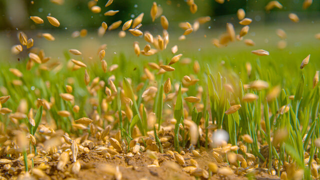 MACRO: Seeds fall between the sprouting blades of grass and onto the dry soil.