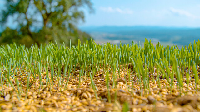 MACRO: Small blades of grass sprout from seeds of grass scattered across field.