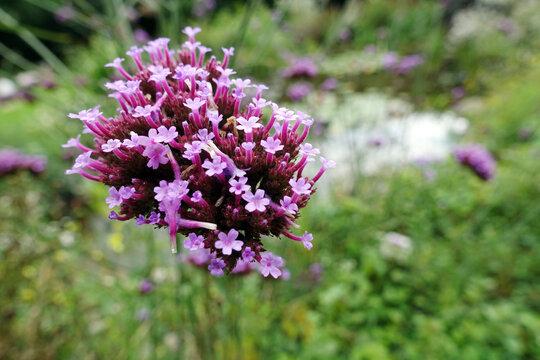 Patagonisches Eisenkraut (Verbena bonariensis, Syn.: Verbena inamoena), auch Argentinische Verbene