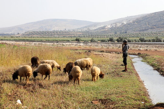 An Internally displaced Syrian shepherd herds sheep in a field at Aleppo countryside