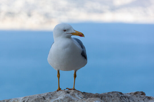One seagull on the on the rocks of peak Penon de Ifach, Spain. Blurred sea background.