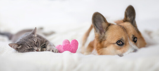 Obraz couple of friends a striped cat and a corgi dog puppy are lying on a white bed next to knitted hearts - fototapety do salonu