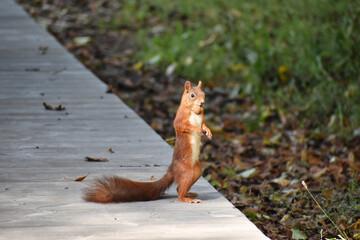 Wiewiórka w słońcu