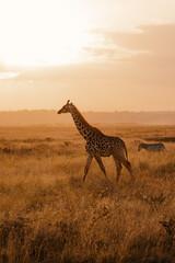 Giraffe walking at sunset