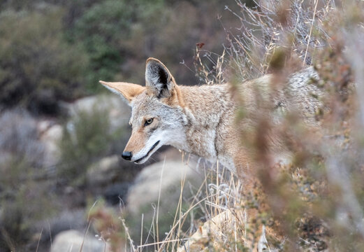 Coyote looking for breakfast at Santa Susana Pass State Historic Park near Los Angeles and Simi Valley in Southern California.