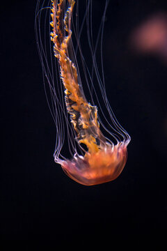 Closeup of a jellyfish on a blurry black background