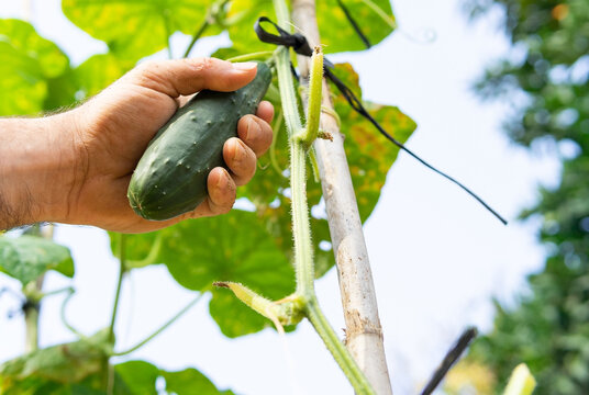 Crop farmer collecting cucumber in garden