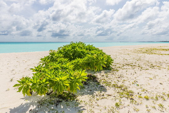 green mangrove trees  in the Maldives