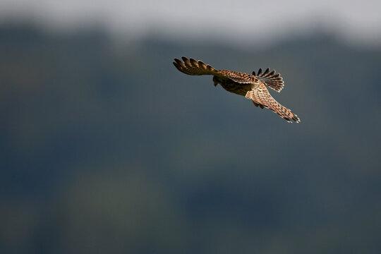 Turmfalke // Common kestrel (Falco tinnunculus)