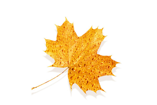 Golden metallic textured maple leaf with water drops.