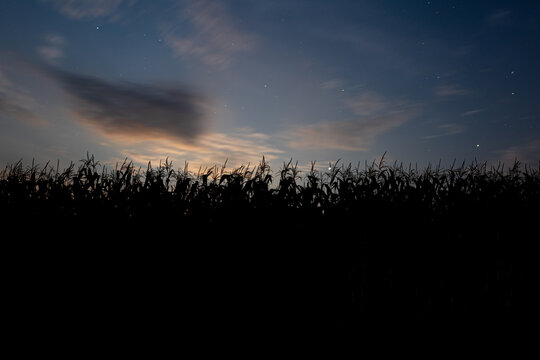 Corn stalks silhouetted against the evening sky in a field.