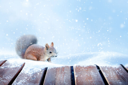 Winter New Year card. Fluffy squirrel in the snow.