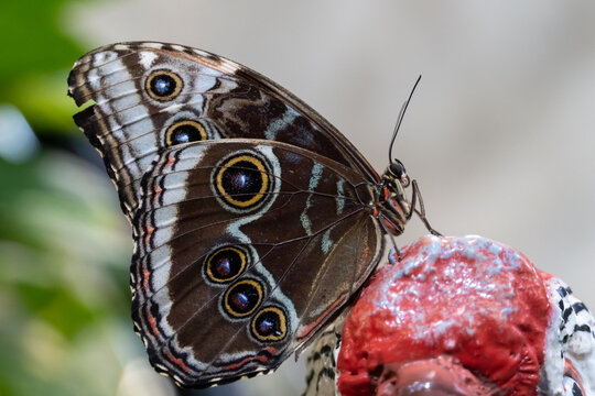Blue butterfly, Morpho peleides, the Peleides blue morpho, common morpho or the emperor sits very close up.