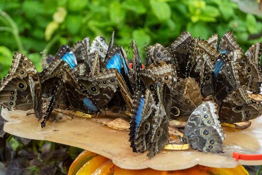 Group of Morpho peleides, the Peleides blue morpho, common morpho or the emperor eating bananas very close up.