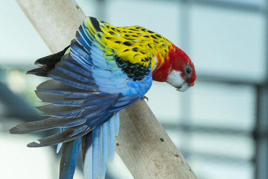A bright red and yellow eastern rosella (Platycercus eximius) parrot or parakeet wings spread out.
