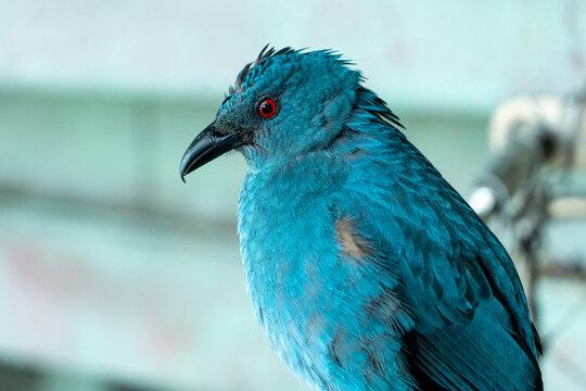 Female Asian fairy-bluebird (Irena puella) very close up, a beautiful blue tropical bird.