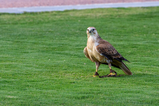 A long legged buzzard (Buteo Rufinus) standing on the grass in conservation center