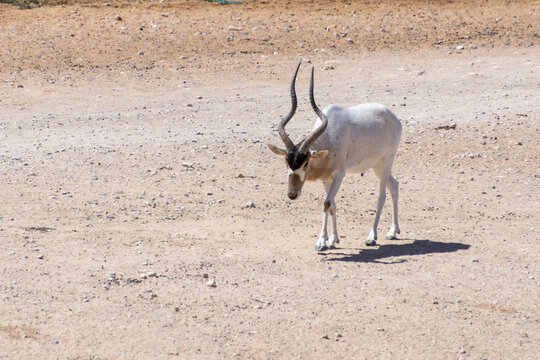 A critically endangered Addax (Addax nasomaculatus) also known as the screwhorn or white antelope walks in the desert sand