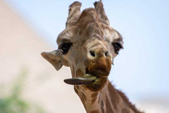 A close up of a giraffe (giraffa) head with tongue out in Africa.