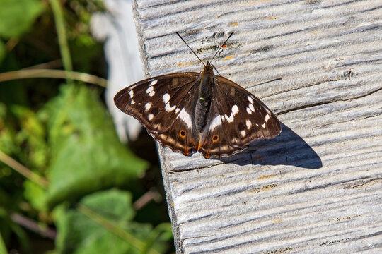 großer Schillerfalter - Schmetterling - Allgäu - Edelfalter