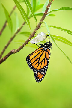 Newly emerged Monarch butterfly (danaus plexippus) and its chrysalis shell hanging on milkweed branch. Natural green background.