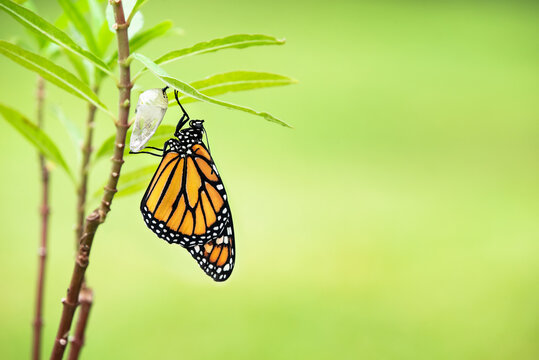 Newly emerged Monarch butterfly (danaus plexippus) and its chrysalis shell hanging on milkweed leaf. Natural green background with copy space.