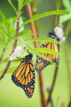 Newly emerged Monarch butterfly (danaus plexippus) and its chrysalis shell hanging on milkweed leaf.