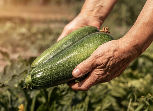 Hands holding zucchini from organic eco garden. Season of fresh harvest with courgette vegatables.