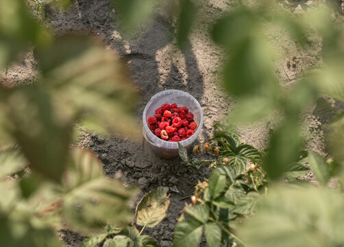 Red raspberry collected in container among blurred leaves of berry bush. Organic agriculture.