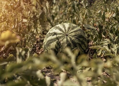 Watermelon fruit growing on field. Big water melon growth.