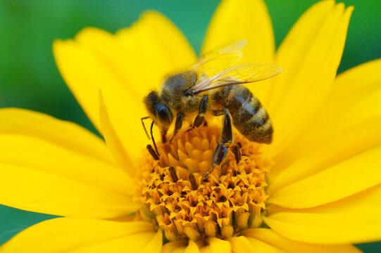 Nahaufnahme von Biene beim Nektar sammeln auf Blüte.