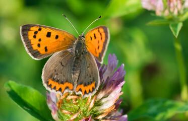 Obraz Pomarańczowy motyl  - fototapety do salonu