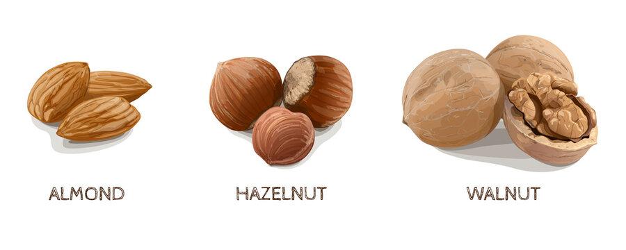 Almond, Hazelnut, Walnut on white background. Vector Illustration.