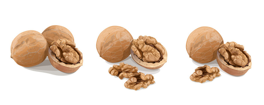 Variants of walnuts on white background. Vector Illustration.