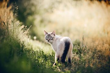 Fototapeta A Thai cat walks in the grass. obraz