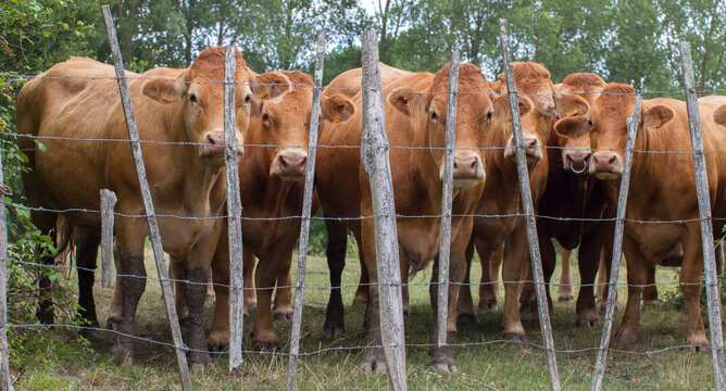 herd of curious young cows observing behind the meadow fence