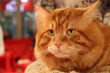 Obraz redhead old cat wit huge muzzle - fototapety do salonu
