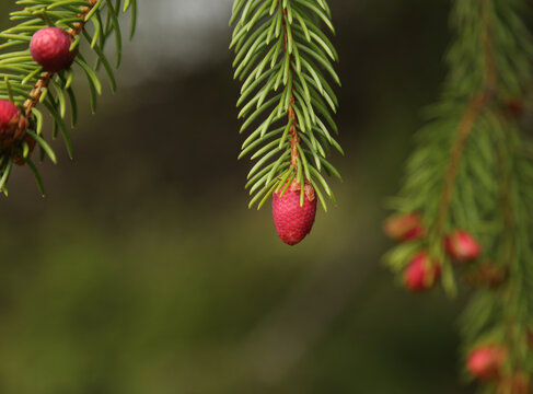 Red early spring. spruce pine cones.