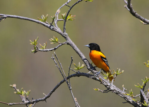A Baltimore Oriole (Icterus galbula) perched on a branch, shot in Waterloo, Ontario, Canada.