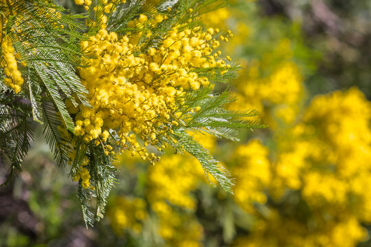 closeup of golden wattle tree flowers in bloom with blurred background and copy space