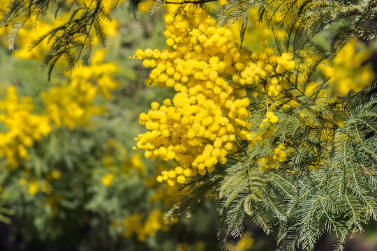 closeup of yellow acacia tree flowers in bloom with blurred background and copy space