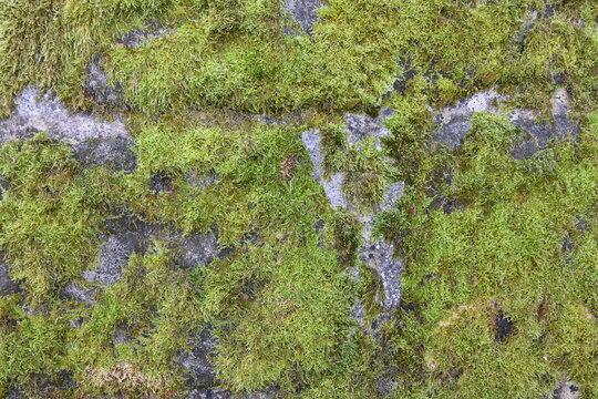Grünes Moos auf einer Mauer. Moose sind auch als Begrünung für ein Flachdach geeignet. Die Wissenschaft der Moose heißt Bryologie.