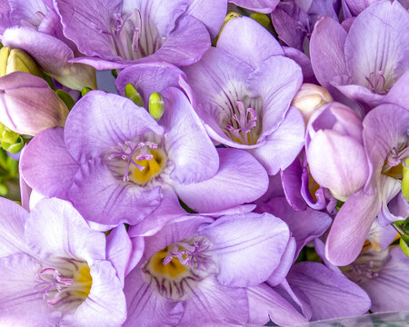 violet-colored freesia flowers top view closeup, natural background.