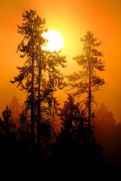 Sunlight Golden Orange in Morning Mist Fog in Pine Tree Forest Wilderness