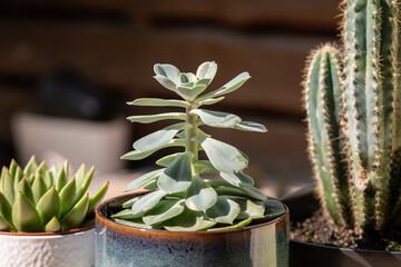 Obraz Kaktusy ozdobne na balkonie - fototapety do salonu