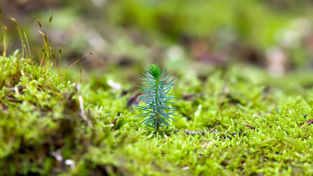 small conifer grows out of the moss