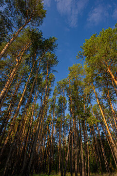 High pine trees in the forest.