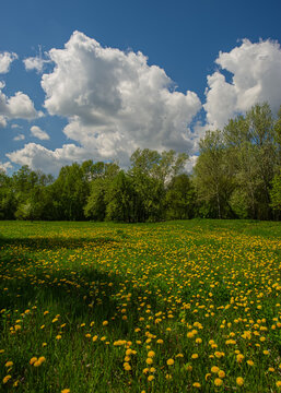 Sunny day meadow covered with flowering dandelions..
