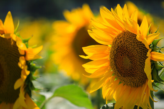 Closeup shot of sunflowers facing each other in the field on a sunny day